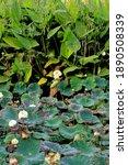 Water Lilies  Nymphaeaceae ...