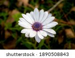 Daisy Plant Photographed With A ...