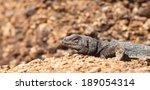 a chuckwalla lizard suns itself ...   Shutterstock . vector #189054314