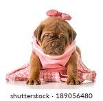 Female Puppy   Dogue De...