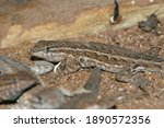 The Common Side Blotched Lizard ...
