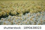 Daffodil   Lent Lily Field