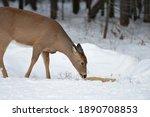 Northern Maine Whitetail Deer...