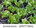 Green Lettuce Plant Growing In...