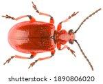 Leaf Beetle Lilioceris...