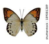 Great Orange Tip Butterfly...