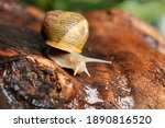 Common Garden Snail Crawling On ...