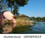 Fishing Detail of a Bluegill Sunfish at a Lake