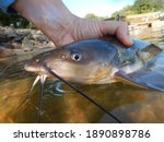 Close up of a Channel Catfish and Fisherman on a Lake