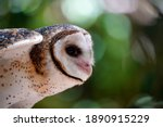 Side View Of A Single Barn Owl...