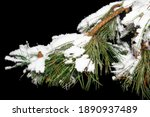 A Brunch Of A Conifer Tree...