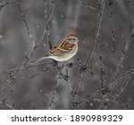 American Tree Sparrow Perched...