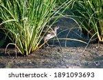 Closeup Juvenile Common Moorhen ...