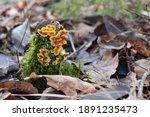 Fungus On A Tree Stump.  Wood...