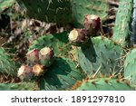 prickly pear cactus with purple ... | Shutterstock . vector #1891297810
