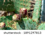 prickly pear cactus close up... | Shutterstock . vector #1891297813