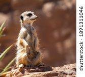 Cute Big Eyed Meerkat On The...