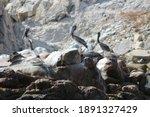Group Of Brown Pelicans Sitting ...