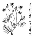 hand sketched chamomile... | Shutterstock .eps vector #1891393186