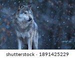 Eurasian Wolf In White Winter...