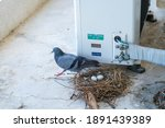 The Mother Pigeons Are...