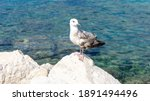 Young Seagull Stands On The...