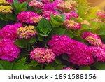 Bright Flowers Of Hydrangea  ...