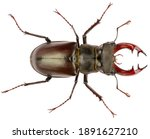 The european stag beetle...