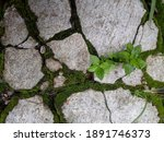 Thick Moss On The Surface Of...