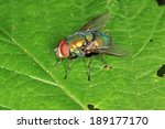 Blow Fly Lucilia Spec