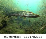 Portrait of pike (Esox lucius) in Lake Kulkwitz