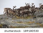 Caribou Bulls In Northern Norway