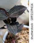 Jewel Orchid (Ludisia discolor), a typical indoor plant, with its characteristic dark maroon foilage which have a velvety texture. Selective focus, close up.