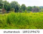 Thickets Of Tall Grass On A...