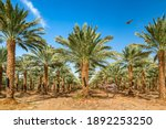 Plantation Of Date Palms...