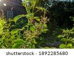 Blackberry Bush In The Sun....
