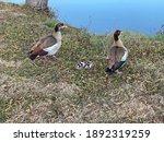 Pair Of Egyptian Geese Walking...