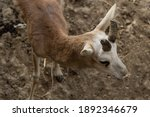 An Antelope Is On The Sand