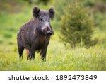 Wild Boar  Sus Scrofa  Standing ...