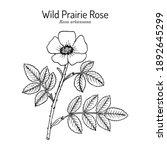 wild prairie rose  rosa... | Shutterstock .eps vector #1892645299