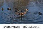 Group Of Dabbling Mallard Ducks ...