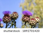 Cardoon Flowers And Buds In...