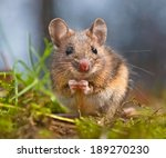 Cute Wood Mouse Sitting On Hin...