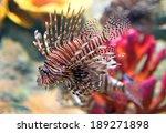 red lionfish  pterois volitans  ... | Shutterstock . vector #189271898