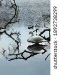 White Swan Among The Bare...