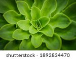 Lush Green Echeveria Plant Leaf ...