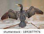 A Great Cormorant ...