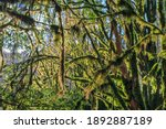 Thick Green Moss Hangs From The ...