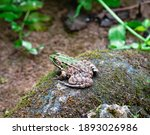 Light Brown Frog With Green...