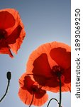 A Group Of Deep Red Poppies In...